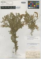 Isotype of Eysenhardtia subcoriacea Pennell [family FABACEAE]