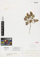 Isolectotype of Phacelia campanularia A. Gray [family HYDROPHYLLACEAE]