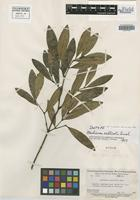 Isotype of Marlierea salticola Amshoff [family MYRTACEAE]