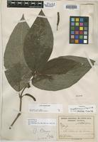 Holotype of Piper onus Trel. [family PIPERACEAE]