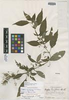 Holotype of Deppea anisophylla L. O. Williams [family RUBIACEAE]