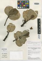Isotype of Melicope hivaoaensis Florence [family RUTACEAE]