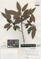 Isotype of Mastichodendron parviflorum Lundell [family SAPOTACEAE]