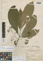 Holotype of Valerioa costaricensis Standl. & Steyerm. [family SOLANACEAE]