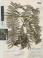 Holotype of Alsophila scabriuscula Maxon var. guatemalensis Riba [family CYATHEACEAE]