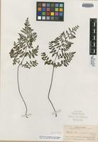 Isotype of Cheilanthes aemula Maxon [family PTERIDACEAE]