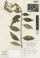 Isotype of Pentacalia luteynorum H. Rob. & Cuatrec. [family ASTERACEAE]