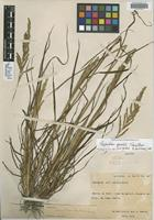 Isotype of Paspalum goeldii Swallen [family POACEAE]