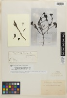 Isotype of Chorizanthe frankenioides Remy [family POLYGONACEAE]