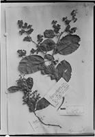 Type of Tetracera rotundifolia Sm. [family DILLENIACEAE]