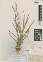 Isotype of Axonopus equitans Hitchc. & Chase [family POACEAE]