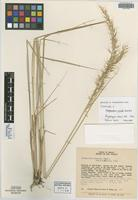 Isotype of Sorghastrum viride Swallen [family POACEAE]