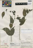 Holotype of Megalostoma viridescens Leonard [family ACANTHACEAE]
