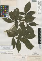 Isolectotype of Tabernaemontana donnell-smithii Rose [family APOCYNACEAE]
