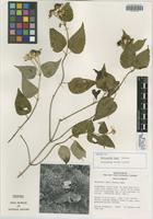 Isotype of Philactis fayi A. M. Torres [family ASTERACEAE]
