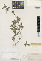 Isotype of Tagetes parryi A. Gray [family ASTERACEAE]