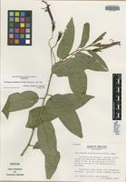 Isotype of Centropogon talamancensis Wilbur [family CAMPANULACEAE]