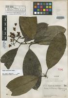 Holotype of Clusia williamsii Steyerm. [family CLUSIACEAE]