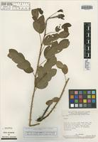 Isotype of Cassia caiapo H. S. Irwin & Barneby [family FABACEAE]