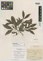 Isotype of Piptadenia schumanniana Taub. [family FABACEAE]