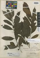 Holotype of Casearia phegocarpa Standl. [family FLACOURTIACEAE]