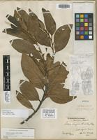 Isolectotype of Persea lingue Nees [family LAURACEAE]