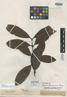 Isotype of Eugenia cachoeirensis O. Berg [family MYRTACEAE]
