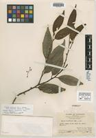 Isotype of Pygeum laxiflorum Merr. [family ROSACEAE]