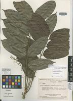 Isotype of Matayba chimantensis Steyerm. & Maguire [family SAPINDACEAE]