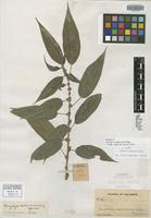 Isotype of Pouzolzia scaberrima Killip [family URTICACEAE]