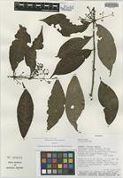 Isotype of Calyptranthes fusca M. L. Kawas. & B. Holst [family MYRTACEAE]