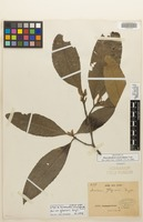 Isotype of Macrodendron corcovadense Taub. [family QUIINACEAE]