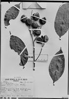 Isotype of Caraipa ampla Ducke [family CLUSIACEAE]