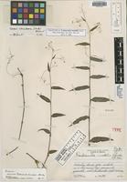 Holotype of Tradescantia lundellii Standl. [family COMMELINACEAE]