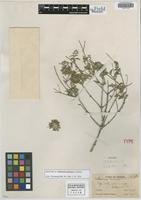 Isotype of Calhounia nelsonae A. Nelson [family ASTERACEAE]