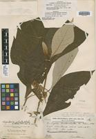 Isotype of Vernonia salvinae Hemsl. var. canescens J. M. Coult. [family ASTERACEAE]