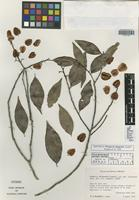 Isotype of Wimmeria chiapensis Lundell [family CELASTRACEAE]
