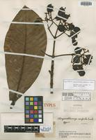 Holotype of Chrysochlamys conferta Cuatrec. [family CLUSIACEAE]