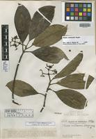 Isotype of Clusia williamsii Steyerm. [family CLUSIACEAE]