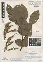Isotype of Macrolobium spectabile R.S. Cowan [family FABACEAE]