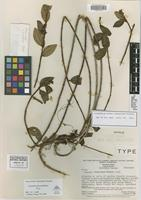 Holotype of Leandra chimantensis Wurdack [family MELASTOMATACEAE]