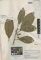 Holotype of Ficus regularis Standl. [family MORACEAE]