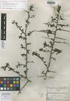Isotype of Phaulothamnus spinescens Gray [family PHYTOLACCACEAE]