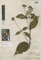 Holotype of Psychotria calochlamys Standl. [family RUBIACEAE]