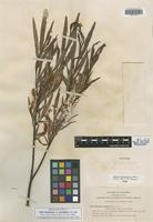 Isolectotype of Salix melanopsis Nutt. var. gracilipes C. R. Ball [family SALICACEAE]