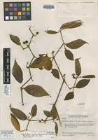 Holotype of Lycianthes cuchumatanensis J. L. Gentry [family SOLANACEAE]