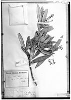 Holotype of Persea alba Nees [family LAURACEAE]