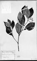 Holotype of Psychotria friburgensis Standl. [family RUBIACEAE]