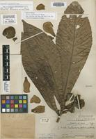 Holotype of Gustavia caballoensis J. F. Macbr. [family LECYTHIDACEAE]