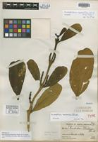 Holotype of Phoradendron macbridei Standl. [family LORANTHACEAE]